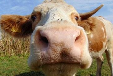 Asociaţia Forţa Fermierilor: Crescătorii de bovine riscă să rămână în acest an cu o subvenţie de la buget de doar un euro pe o vacă