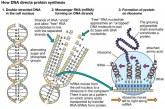 Un mister al biologiei rezolvat de inteligența artificială