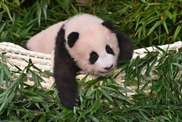 VIDEO – Coreea de Sud: O înregistrare video a unui pui de panda care se agaţă de piciorul îngrijitorului a devenit virală