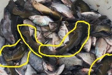 Reprezentanții AJVPS Maramureș au populat râul Someș cu somn pitic