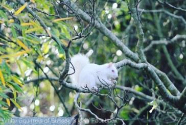 Apariţie rară: O veveriţă albă, observată într-un parc din Anglia