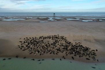 Focile gri au început să revină pe coastele franceze din Canalul Mânecii