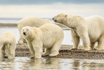 Planurile pentru prospectarea petrolului în zona arctică protejată din SUA, blocate în lipsa protecţiei pentru urşii polari