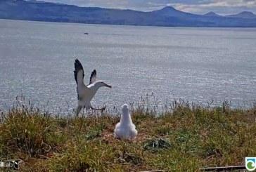 VIDEO – Noua Zeelandă: O înregistrare care surprinde aterizarea comică a unui albatros, devenită virală