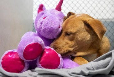 Un câine fără stăpân din SUA a primit cadou un unicorn de pluș pe care îl furase de cinci ori dintr-un magazin