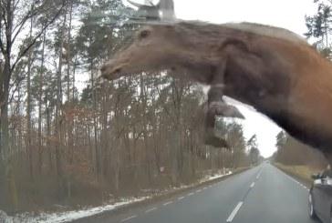 O turmă de cerbi intră violent într-un BMW Seria 5 pe un drum din Polonia