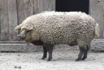 Ajutorul de minimis pentru susţinerea crescătorilor de porci de reproducţie din rasele Bazna şi/sau Mangaliţa, aprobat de Guvern
