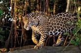 Program de reintroducere a jaguarilor în nord-estul Argentinei