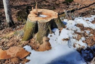 MULTE RECLAMAȚII – Tăieri ilegale de lemn depistate în pădurea Băiuțului