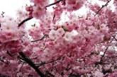 Imaginea zilei: Culori de primăvară în Baia Mare