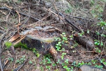 AGITAȚIE MARE LA BĂIUȚ – Garda Forestieră ia la puricat pădurea pas cu pas