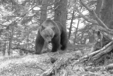 Numărul urşilor din Pirinei a crescut în 2020