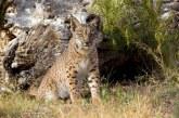 Autorităţile spaniole se declară optimiste în privinţa supravieţuirii linxului iberic