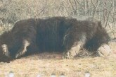 Covasna: S-a deschis dosar penal in rem în cazul ursului împuşcat în zona Ojdula; faptele cercetate-braconaj şi uz de armă