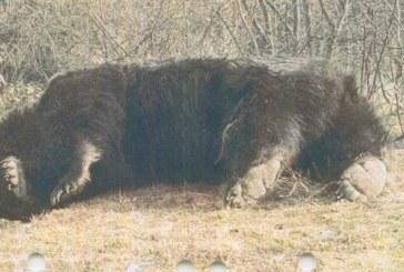 Cîţu despre ursul împuşcat în Covasna: Se pare că nu este cel mai mare; vom vedea concluziile anchetei