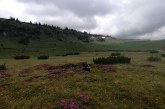 VEȘTI BUNE – Bujorul de Munte a început să înflorească în Munții Rodnei
