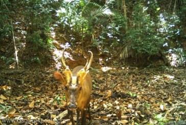 O specie rară şi ameninţată de cerb, reperată pentru prima dată în Cambodgia