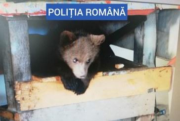 PERCHEZIȚII – Pui de urs găsit la casa unui borșean (VIDEO)