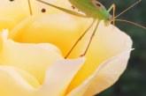 Imaginea zilei: Lăcustă pe floare, la ceas de seară