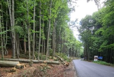 Maramureș: Au fost identificați mai mulți copaci de pe DN 19 care pot fi un pericol pentru șoferi