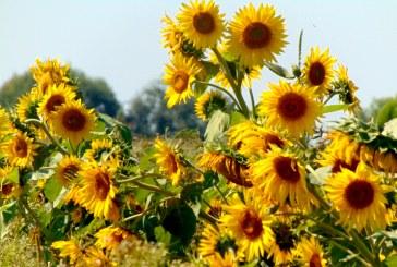 Imaginea zilei: Floarea soarelui, în Maramureș