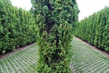 Imaginea zilei: Labirintul verde din Parcul Central Baia Mare