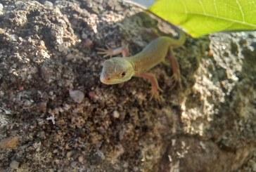 POLUARE ISTORICĂ – După rațe au apărut șopârlele pe malurile râului Săsar