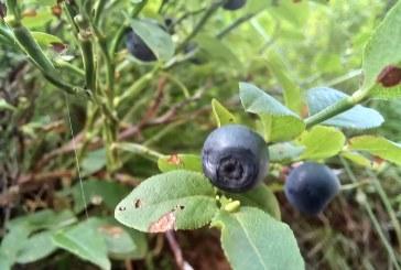 DIN MARAMUREȘ- Tone întregi de afine, mure și măceșe ajung în Germania și Olanda