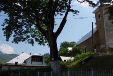OCROTIȚI DE LEGE – Maramureșul nu duce lipsă de arbori rari și de sute de ani