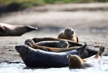 """Populaţia înfloritoare de foci demonstrează că Tamisa londoneză este """"plină de viaţă"""""""