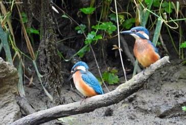 Pescărașul albastru, o frumusețe care poate fi văzută în Cheile Lăpușului